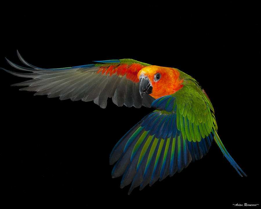 jenday-in-flight-avian-resources